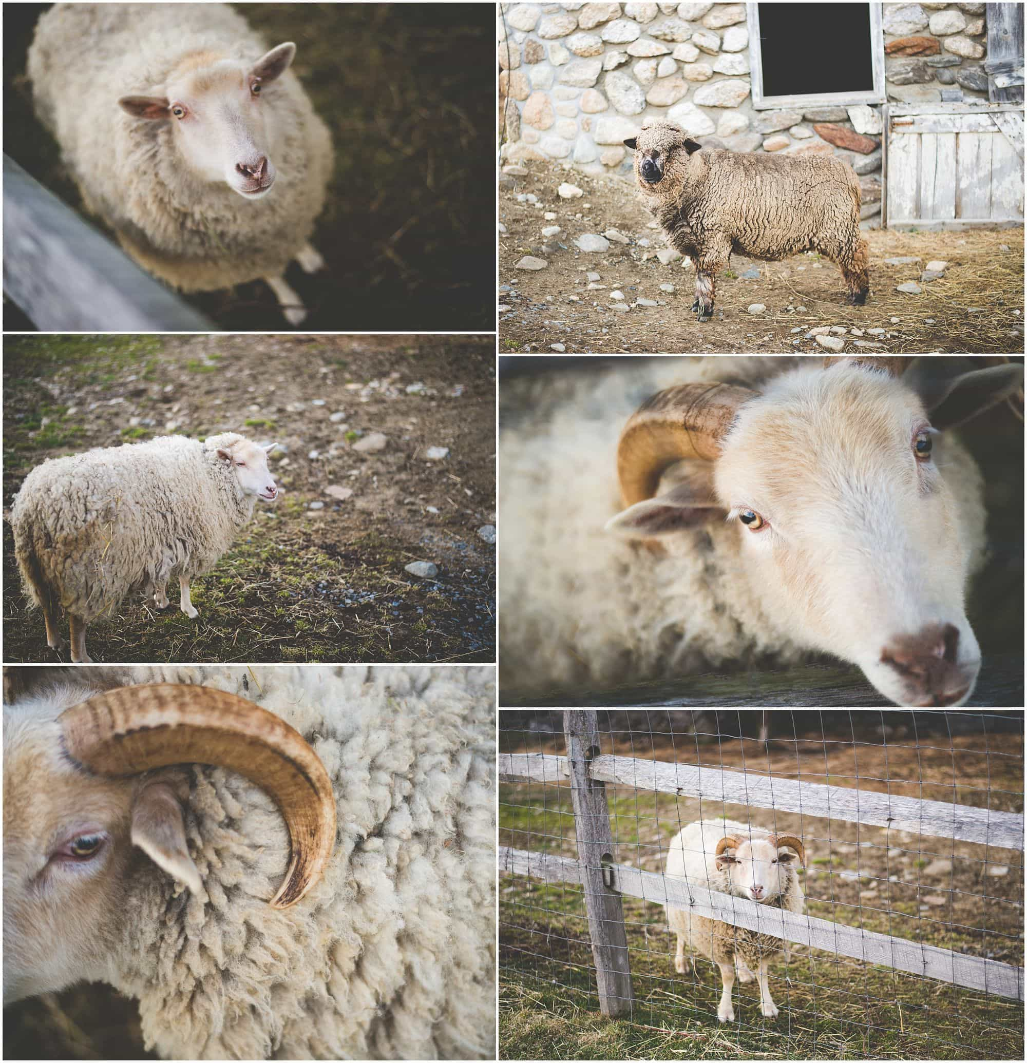 Two sheep near a stone wall and wooden fence