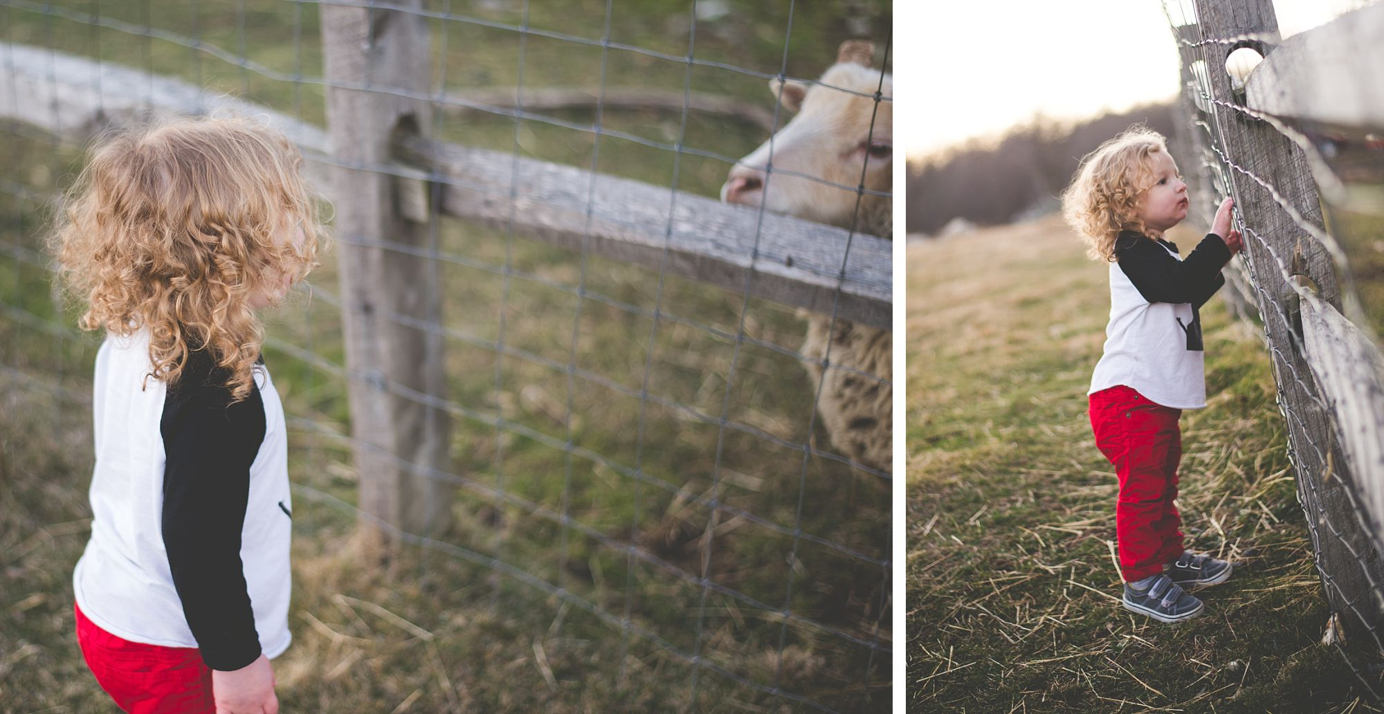 Two year old toddler makes friend with sheep behind a wooden fence